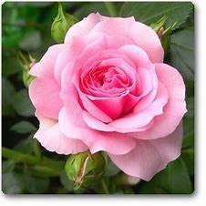 Holly Rose  CARNES