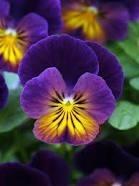 Violet  Gaskell